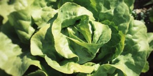 Vom Feld auf den Teller: Anbau und Ernte der Florette-Salate